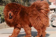 Top 10 Most Expensive Dog Breeds in the World – #6 Tibetan Mastiff  #TibetanMastiff http://www.pindoggy.com/pin/7653/