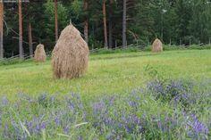 July,old style-Kolme heinäseivästä - heinä heinäseiväs heinäseipäät kuiva heinäpelto pelto niitty rehu talvirehu perinteinen heinänteko niitty metsä maanviljely heinäkuu riukuaita aita