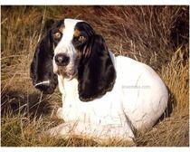 berner laufhund photo   Berner Laufhund Dogs - Berner Laufhund Dog Breed