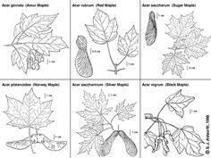 New Maple Tree Identification Sugar Ideas Tree Leaf Identification, Tree Quotes, Street Trees, Maple Tree, Maple Leaves, Shade Trees, Deciduous Trees, Edible Plants, Tree Leaves