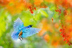 ~ Flying of superb starling ~ - ~ Flying of superb starling ~ 栗頭栗椋鳥飛行  鳥類名稱 Bird Name:栗頭栗椋鳥 英名English Name: Superb starling. 學名 Scientific Name:Lamprotornis superbus. 科名 Family:八哥科 (Sturnidae). 圖像大小 Image Size : 6000 x 4000 pixel