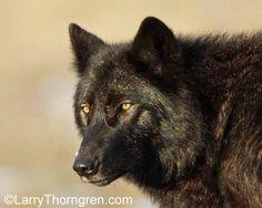Yellowstone Wolves - The Mollies - Larry Thorngren - The Wild . Artwork Lobo, Wolf Artwork, Wolf Photos, Wolf Pictures, Beautiful Wolves, Beautiful Dogs, Wolf Information, Yellowstone Wolves, Wolf Name