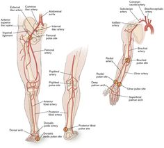 Major Arteries in legs arms