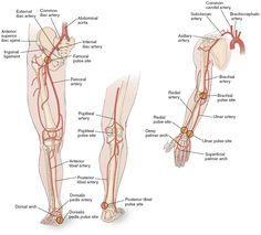Major Arteries in legs arms