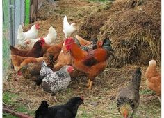 Composting with Chickens - BackYard Chickens Community
