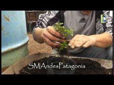 Multiplicación de plantas de orégano