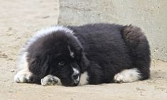 Girls Best Friend, Best Friends, Fluffy Dog Breeds, Gentle Giant, Cute Animals, Newfoundland Dogs, Babies, Newfoundland, Dogs