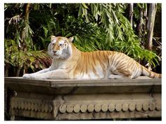 The Tiger Golden tabby have fur color very clear gold, legs of a pale white and strips of color weak orange tree.