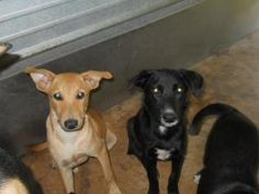 Mo & Larry is an adoptable Labrador Retriever Dog in Chipley, FL. Mo and Larry came in with Curley and Shemp. Mo is black with a short tail and Larry is the tan colored pup. They are about 5-6 months ...