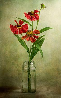 Heleniums   por Mandy Disher