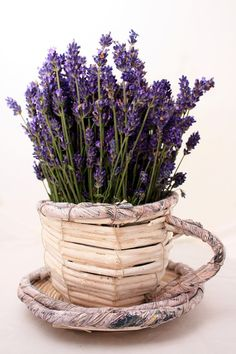 Lavender makes great hedges and borders. Here are a few tips and tricks for how to grow lavender plants, and propagate them. Lavender Cottage, Lavender Garden, Lavender Tea, French Lavender, Lavender Fields, Lavender Color, Lavender Flowers, Purple Flowers, Lavender Crafts