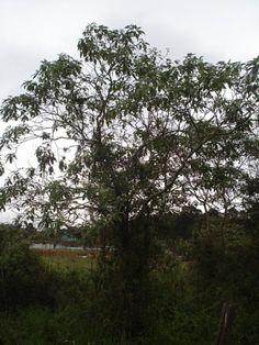 Flora Digital do Rio Grande do Sul e de Santa Catarina: Solanum granulosoleprosum