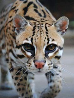 Ocelot The ocelot is a wild cat native to the southwestern United States, Mexico, Central and South America Cute Kittens, Cats And Kittens, Big Cats, Beautiful Cats, Animals Beautiful, Cute Baby Animals, Animals And Pets, Small Wild Cats, Exotic Cats