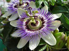 Lilac celadon