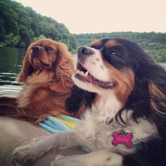 Two Cavalier King Charles Spaniels on a boat!!! Riley is my girl Tri-color & Cody is the little boy Ruby!!! I Love my Cavies!!!!