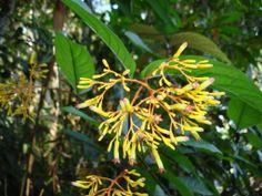 Linda flor no meio da floresta amazônica em Parauapebas-PA