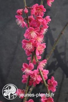Prunus mume 'Beni-chidori'  - Abricotier du japon