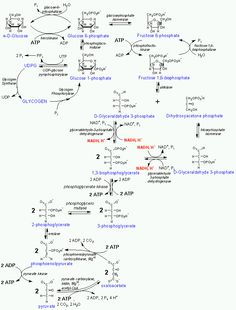 Steps of Lipid Metabolism | Diagram of Glycolysis, Glycogenolysis, ... Glycolysis Notes - (Summary ...