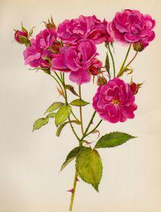 Lovely Vintage Rose Print Scarlet Red Rose by plaindealing on Etsy