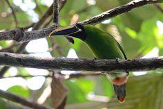 Aulacorhynchus atrogularis (tucaninho-de-nariz-amarelo / Black-throated…