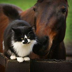 black and white cat with horse friend
