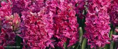 A garden photograph of the spring flowering Hyacinth named Hyacinth Jan Bos.