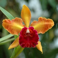 Inter-Generic Orchid-Hybrid Lc: LaelioCattleya   'Waïolani'