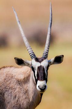 Gemsbok Oryx Antelope Instant download by OxanaNakuPhotography