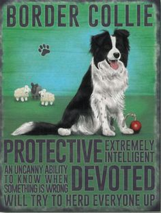 From Vintage Style Retro Metal Wall Sign Dog Lovers Owners Gift Tin Pedigree Breeds Border Collie Border Collies, Border Collie Colors, Border Collie Humor, Border Collie Puppies, Blue Merle, Blue Heelers, Herding Dogs, Australian Shepherds, Pics Art
