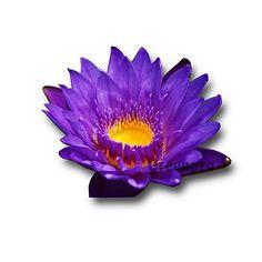 Live Aquatic Plant Nymphaea King of Blue Siam Tropical Wa... https://www.amazon.com/dp/B01D9NDJA2/ref=cm_sw_r_pi_dp_x_0p-OxbKZDTQTK