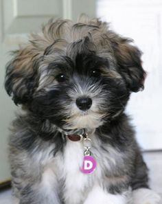9d205083b938 Havanese Puppies For Sale