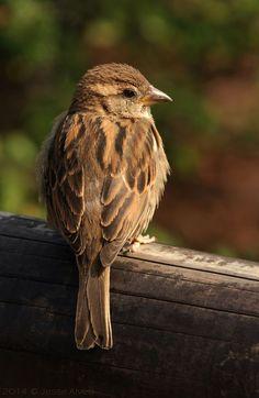 El gorrión común (Passer domesticus) Las hembras poseen colores más apagados que los machos: su cabeza es parda y las cejas son claras; además, no poseen negro en la garganta, característica común de los machos. La cría, conocida como gurriato, es similar en su plumaje a la hembra. El gorrión común probablemente es el pariente más cercano del Passer italiae