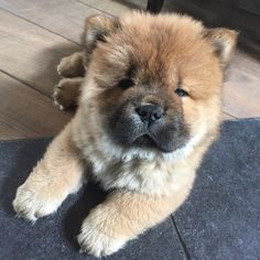 Thinking about when Moos was a little chow chow puppy #chowchow #chowlife #lovemydog #adorimals #animalsaddict #lacyandpaws #dogsofinstagram #lovedogs #instachow #instapuppy #cutepuppyclub #cuteanimals #fluffy #bear #dogs_of_world_ #tbt #throwbackthursday by chow_chow_moos