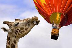 Giraffe and hot air balloon.
