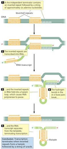 DNA Transcription | Learn Science at Scitable- Great Common Core Readings! Need to design a class team lesson. Molecular Biology, Science Biology, Teaching Biology, Learn Science, Cell Biology, Translation Biology, Dna Transcription, Dna Facts, Dna Genetics