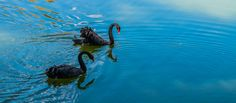 Black swans by microThread.deviantart.com on @DeviantArt