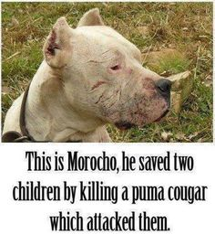 I love Morocho! And people say pitbulls are bad. There is no such thing as a bad dog, just bad owners.