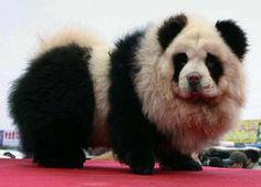 Panda Chow Chow - Extreme Dog Grooming