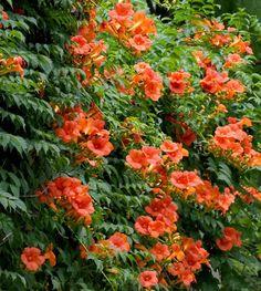 campsis grandiflora don't over-fertilise. Needs full sun and good trellis.