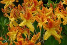 Rhododendron 'Golden Flare' (azalea)