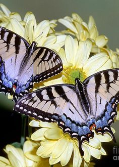 Eastern Tiger Swallowtail Butterflies - by Millard H. Sharp
