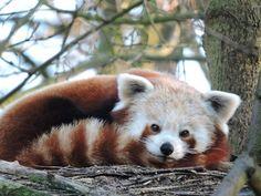 Panda by Romuald Statkiewicz