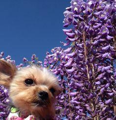 藤の花と愛犬