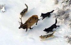 A wolf pack's ability to work together so efficiently that they bring an elf or bison down is amazing.