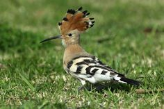 Birdwatching: Hoopoes are quite easy to see in the Algarve