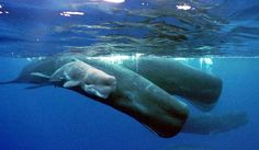 sperm whales and calf