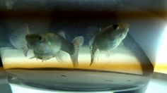 Female Guppy Collection #Fish#FishTank#TropicalFish#Fishing#NomCat#Salmon#Aquarium#Health#Food#Healthy#Seafood#Heart#HealthyLiving#FishTank#HeartHealth#Recipe#FlyFishing#TropicalFish#HealthyEating#Trout#Goldfish#Cooking#Water#Goldfish#Water#Saltwater#Vancouver#Dubai#NomCat#MontereyBayAquarium#SeaLife#UAE #fish #aquarium #fishtank #swim #swimming #water #coral #reef #reeftank #tropical #koi #saltwater #freshwater #beautiful #ocean #watertank #blueoranda #orandagoldfish #goldfishlove…
