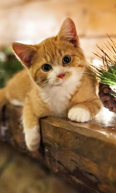 Orange and white kitten