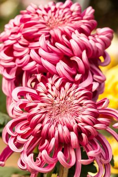 These low-maintenance annual flowers are favorites for a reason. We've rounded up the best hardy annuals for spring, summer, and fall that are great for full sun and shady spots in your garden or yard. Fall Flowers, Summer Flowers, Fresh Flowers, Colorful Flowers, Beautiful Flowers, Flowers Garden, Exotic Flowers, Purple Flowers, Japanese Chrysanthemum