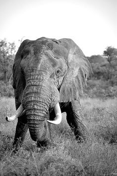 Photographic Print: Awesome South Africa Collection - African Elephant II by Philippe Hugonnard : African Elephant, African Animals, African Safari, Beautiful Creatures, Animals Beautiful, Cute Animals, Wild Animals, Elephant Love, Elephant Gifts